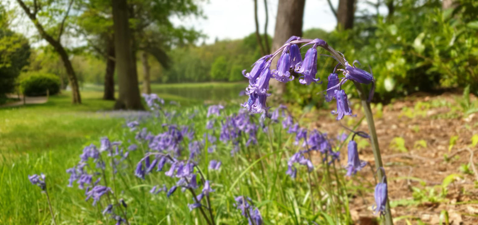 Bluebells Spring