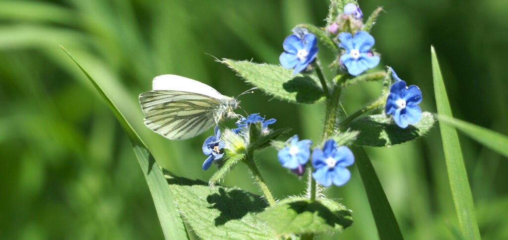 Butterfly at Painshill