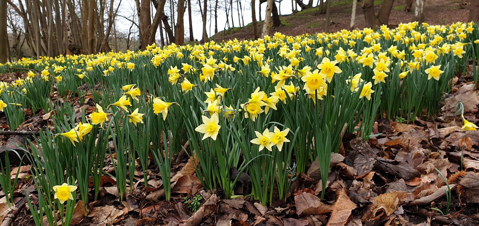 Daffodils spring
