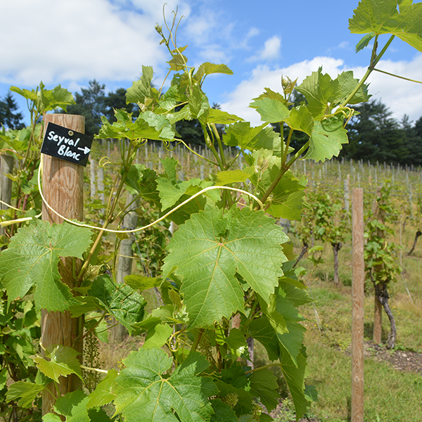 Vines and Wine