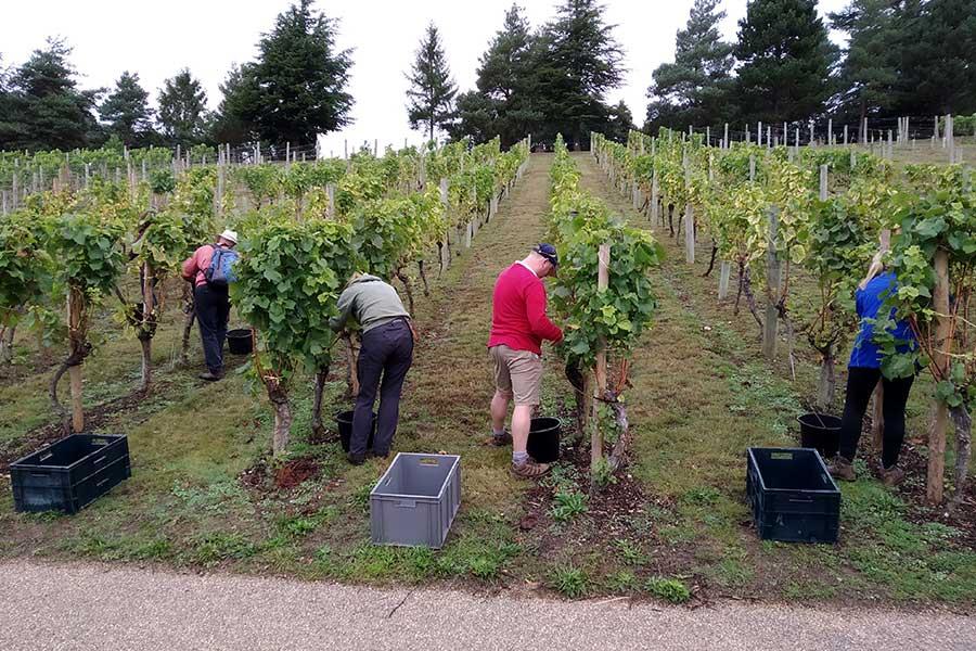volunteers in vineyard